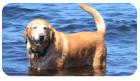 泳ぎの大好きなレトリバー